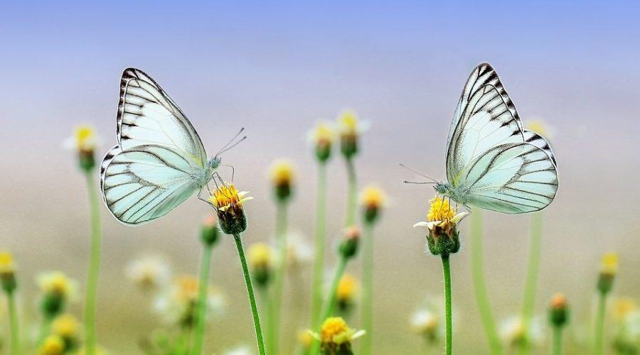 butterfly-1127